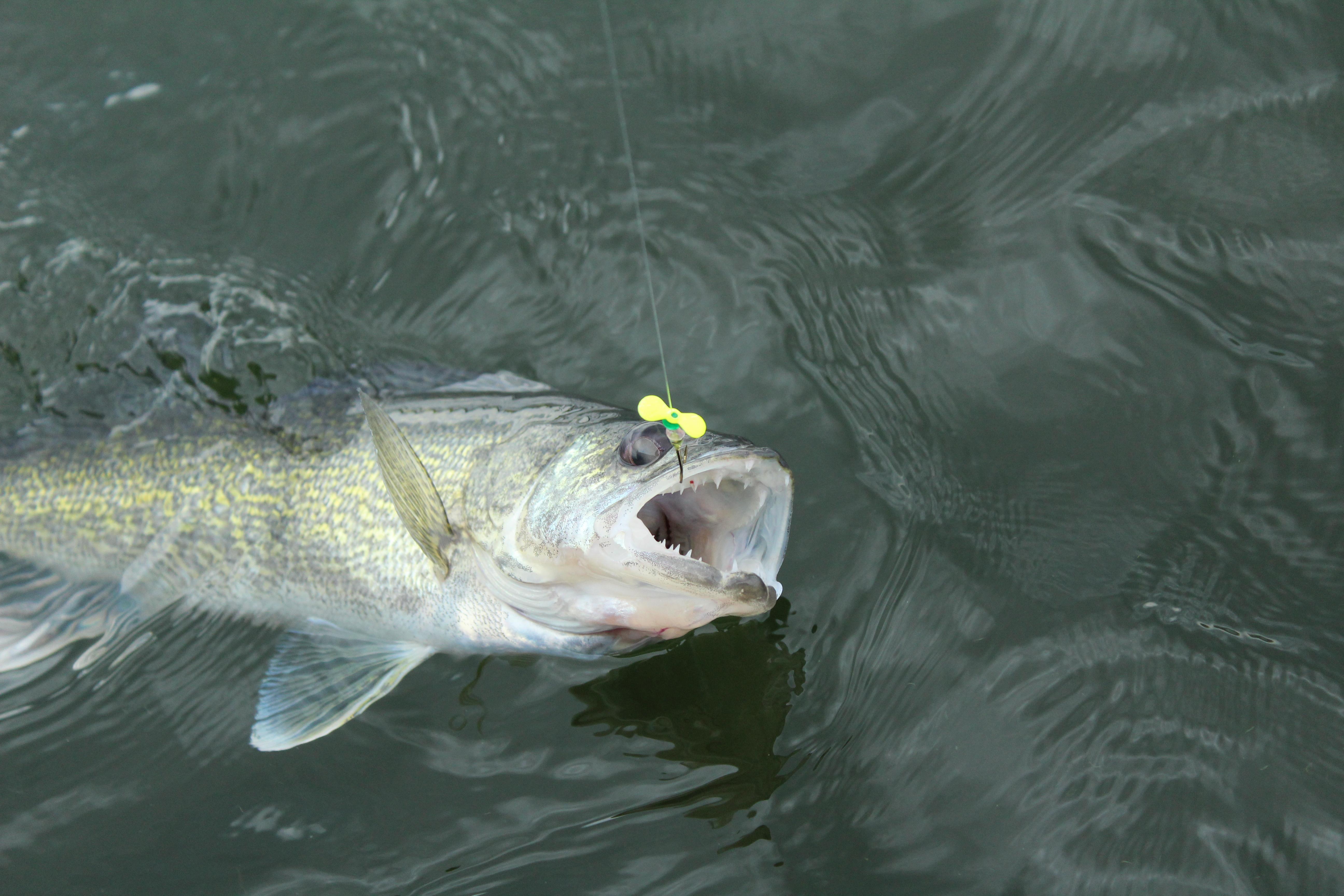 Fish the Original