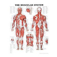 Anatomical Chart, The Muscular System
