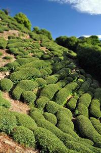 da-yu-peak-ling-taiwan-oolong-plantation-high-mountain.jpg