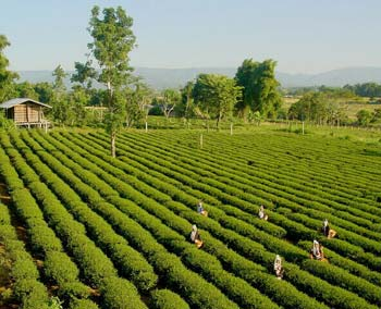 taiwanese-tea-harvest-tea-farmers-picking-taiwan-oolong.jpg