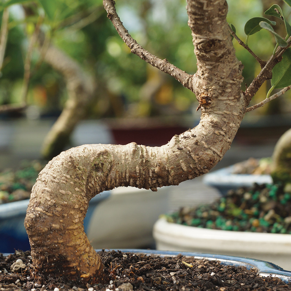 Small Size Golden Gate Ficus Bonsai Tree Trunk View
