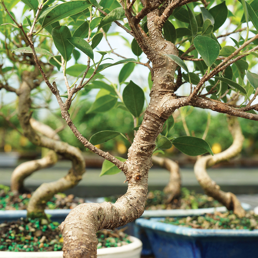 Small Size Golden Gate Ficus Bonsai Tree Multi Tree