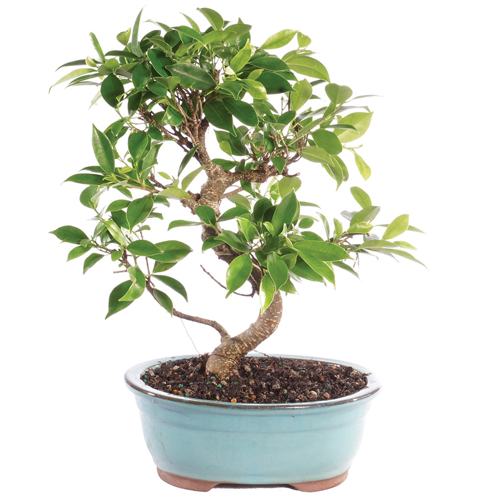 Golden Gate Ficus - CT2006GGF