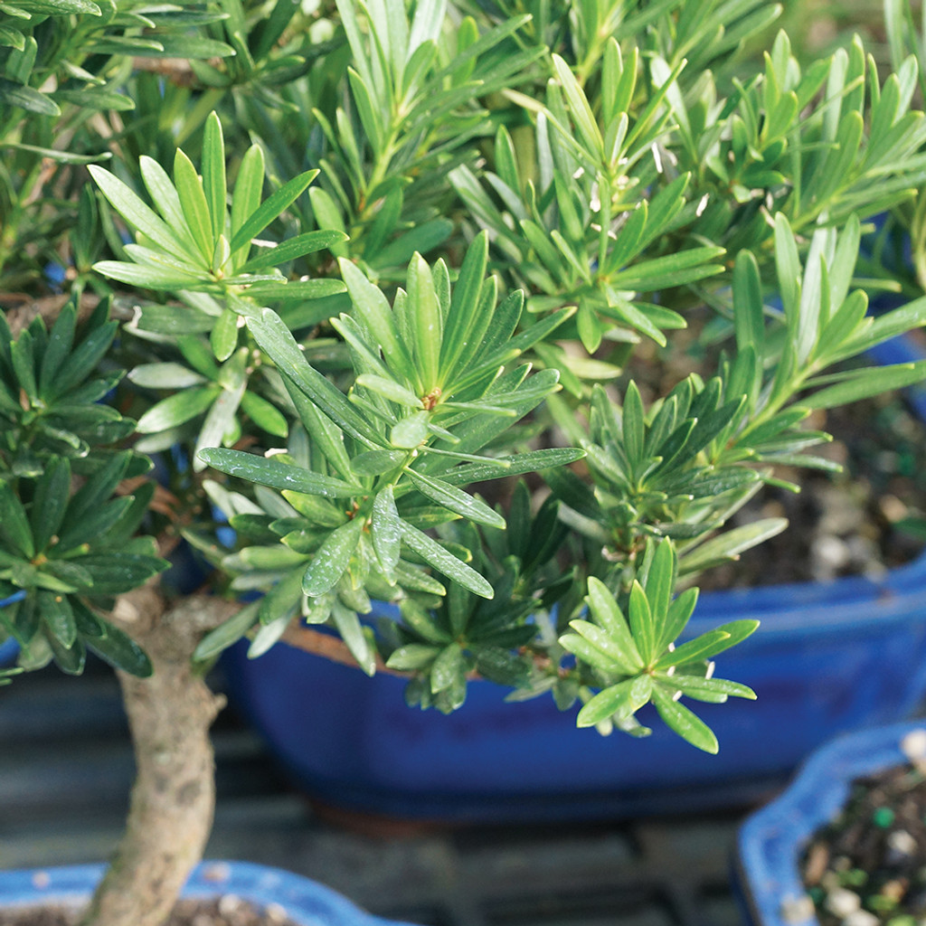 Large Size Podocarpus Bonsai Tree Foliage View
