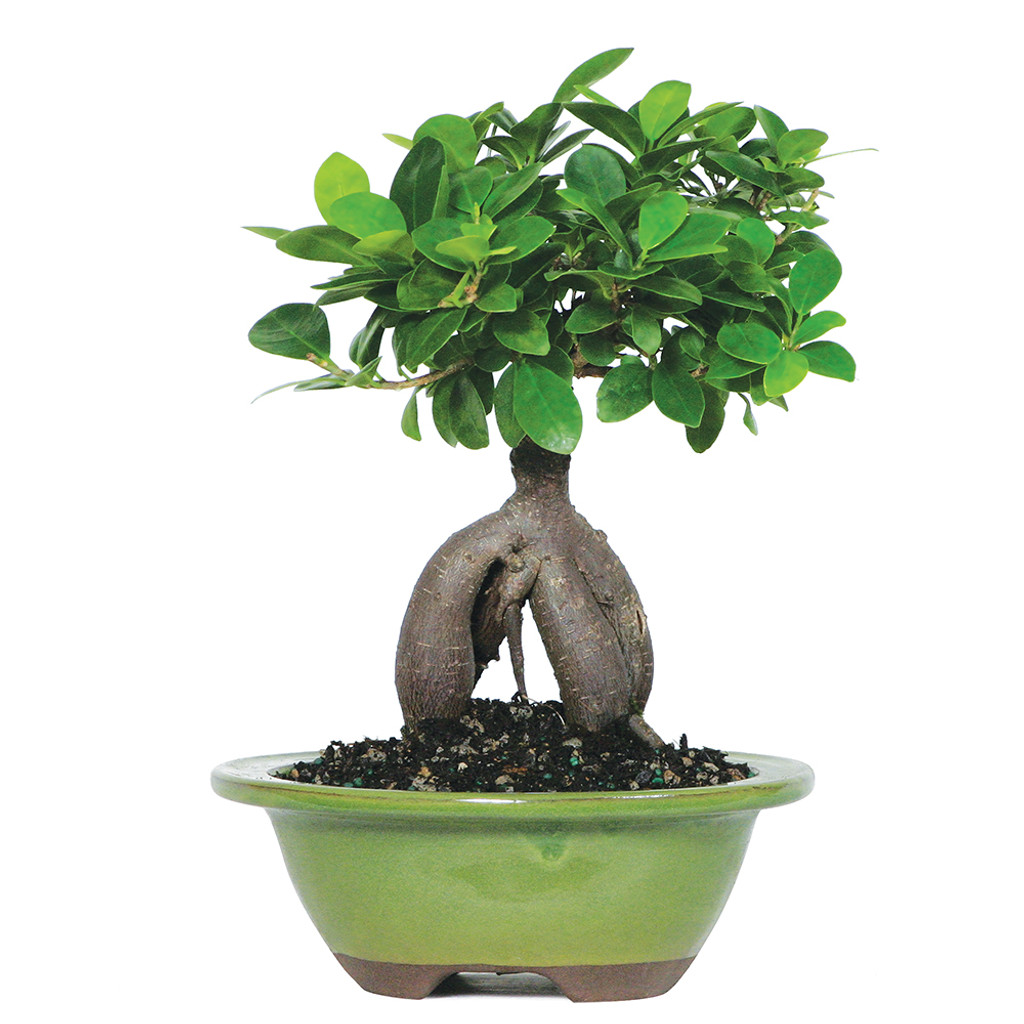 Ginseng Grafted Ficus Microcarpa Indoor Bonsai 6 8