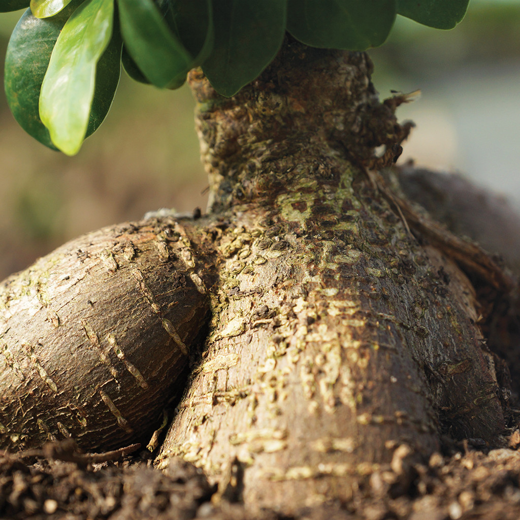 Small Size Ginseng Grafted Ficus Bonsai Tree Trunk View