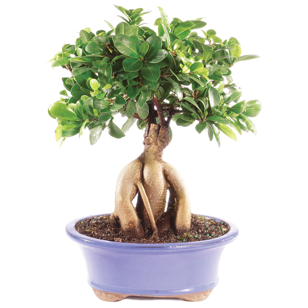 Ginseng Grafted Ficus Microcarpa Indoor Bonsai 8 12