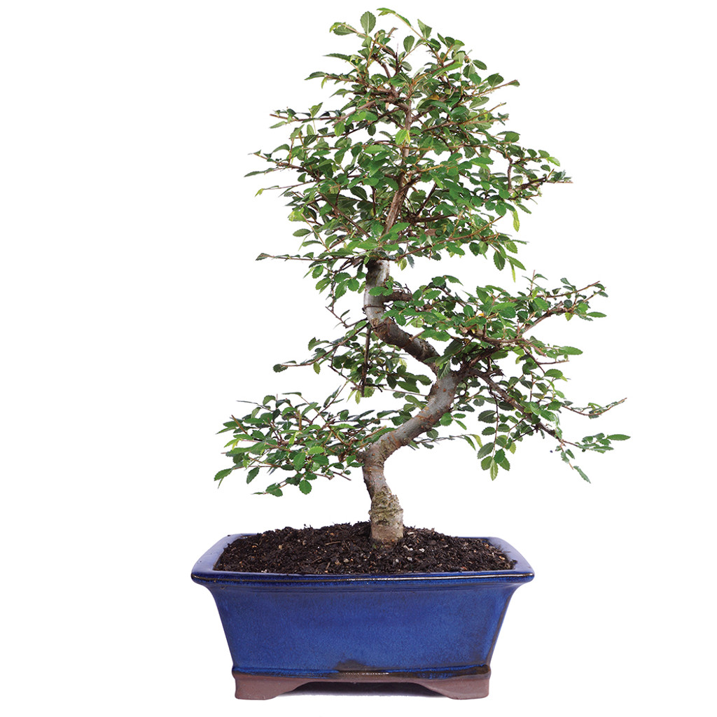 Medium Size Chinese Elm Bonsai Tree