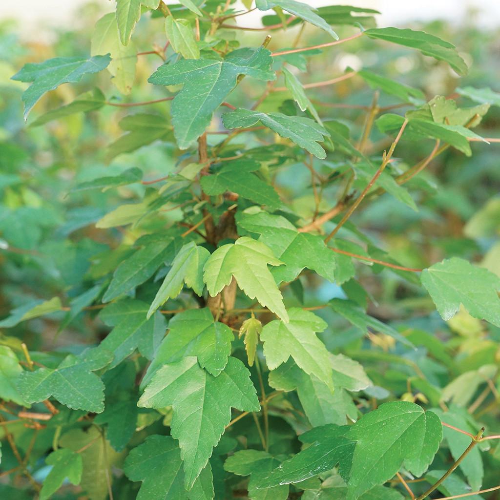 Small Size Trident Maple Bonsai Tree Foliage