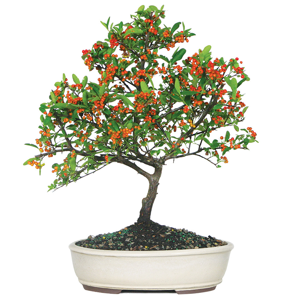 Large Size Dwarf Pyracantha Bonsai Tree