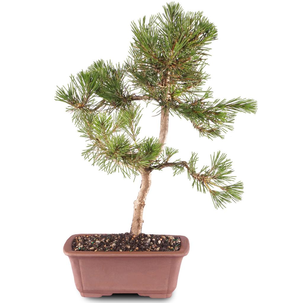 Japanese Black Pine - DT1511JBP