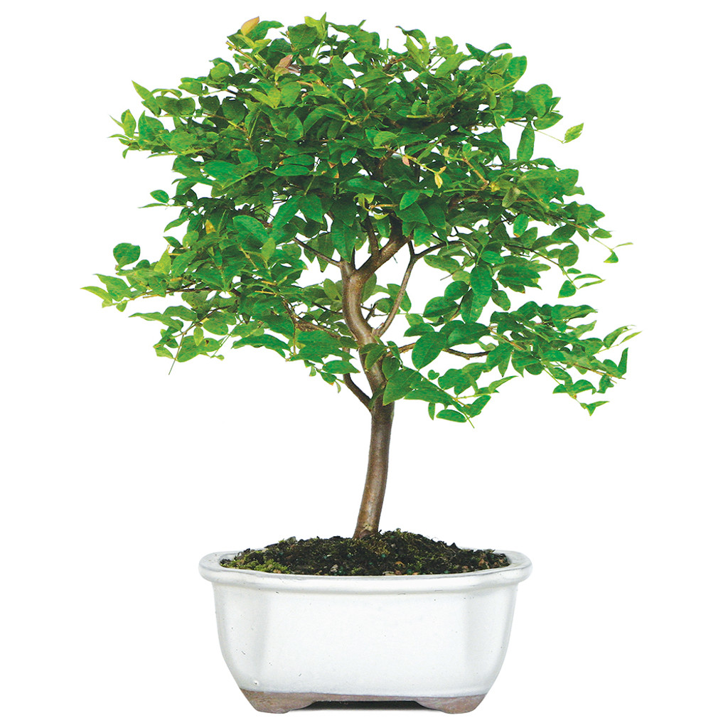 Small Size Jaboticaba Bonsai Tree