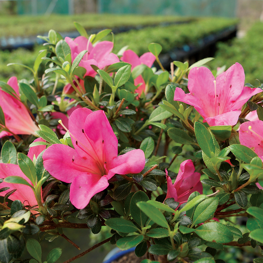 Small Size Satsuki Azalea Bonsai Tree Blooms