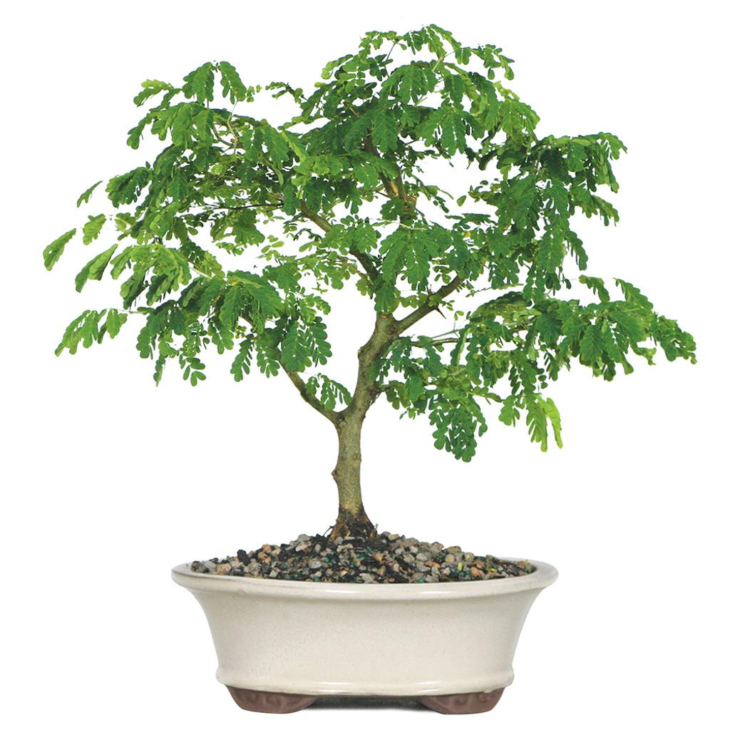 Medium Size Brazilian Rain Bonsai Tree