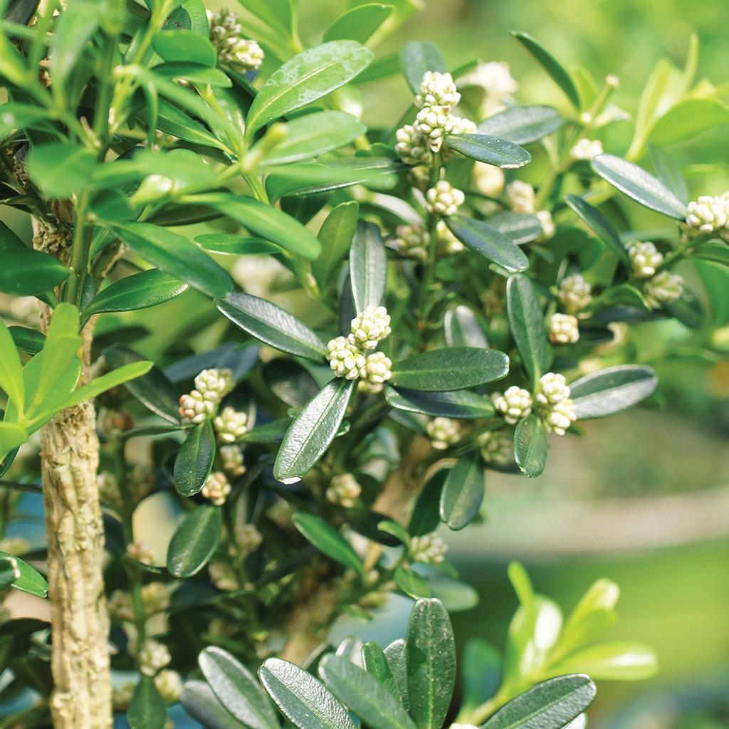 Small Size Harland Boxwood Bonsai Tree Close Up