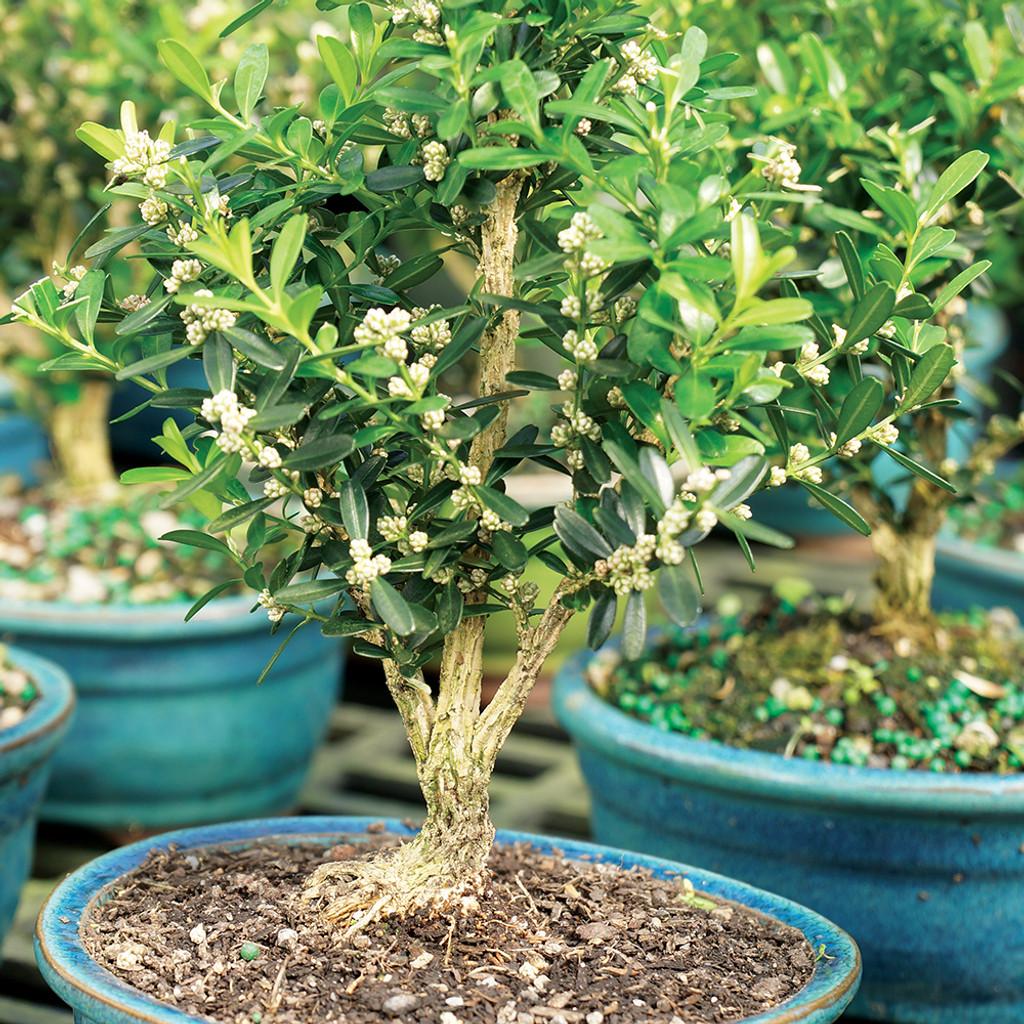Small Size Harland Boxwood Bonsai Tree Multi Tree