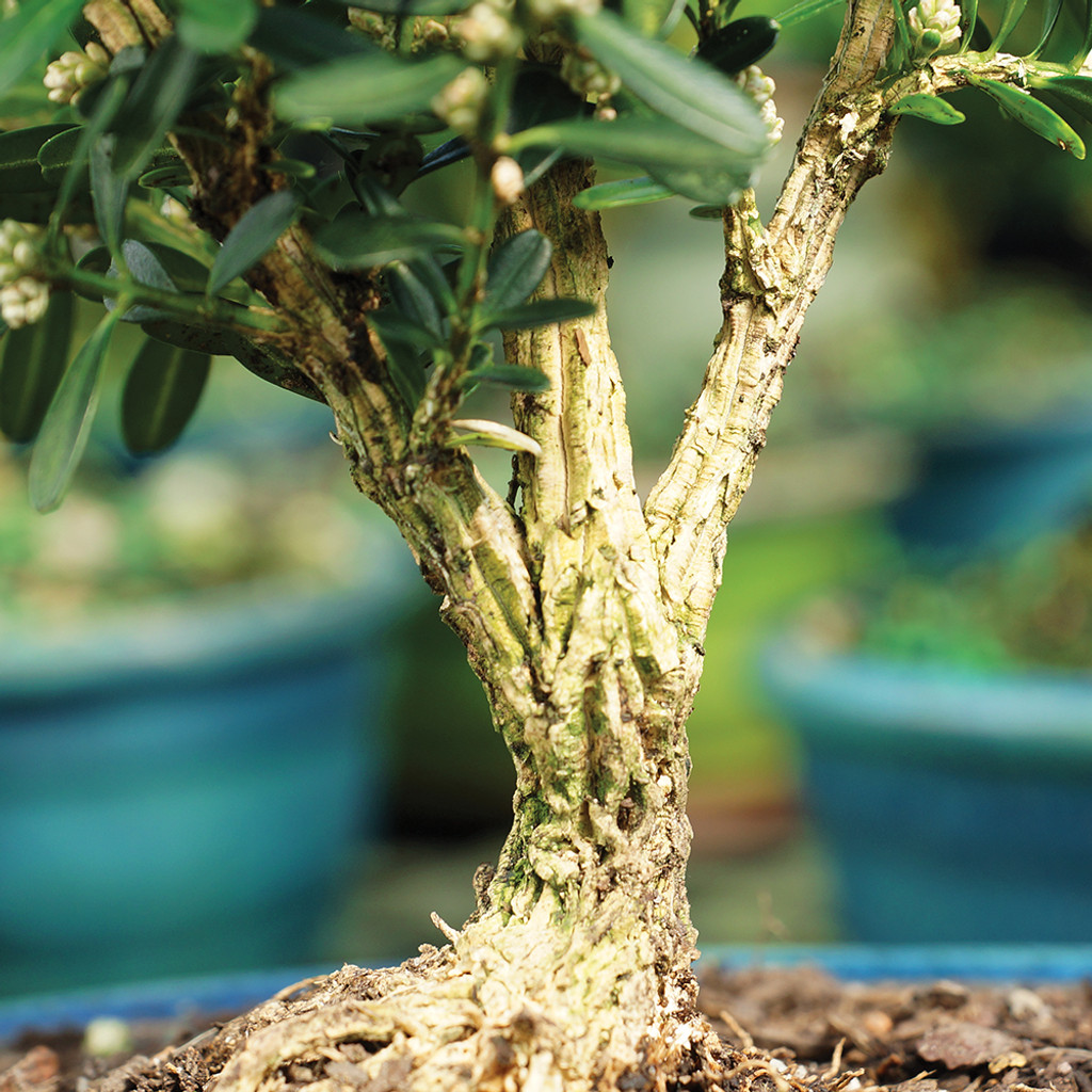 Small Size Harland Boxwood Bonsai Tree Trunk