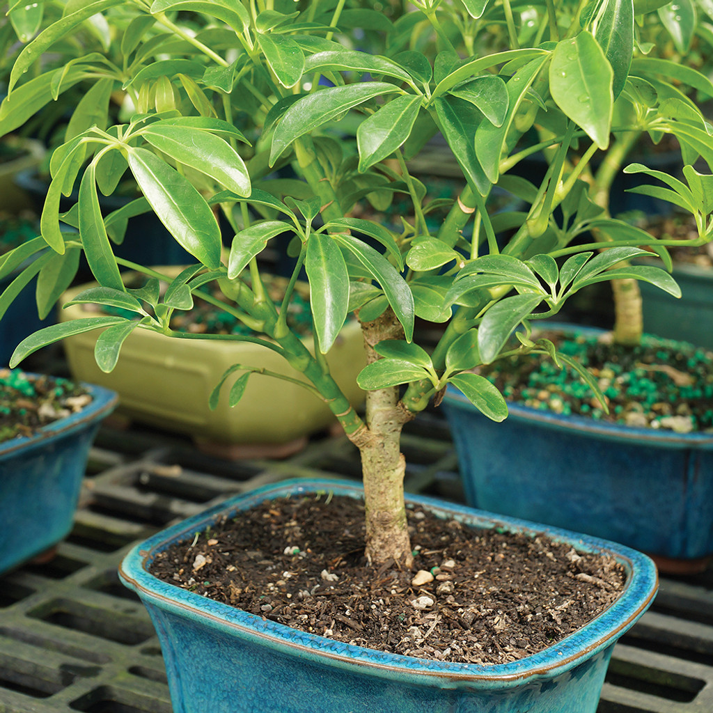 Hawaiian Umbrella Schefflera Arboricola Indoor Bonsai Without Wiring Small Size Tree Alternate View