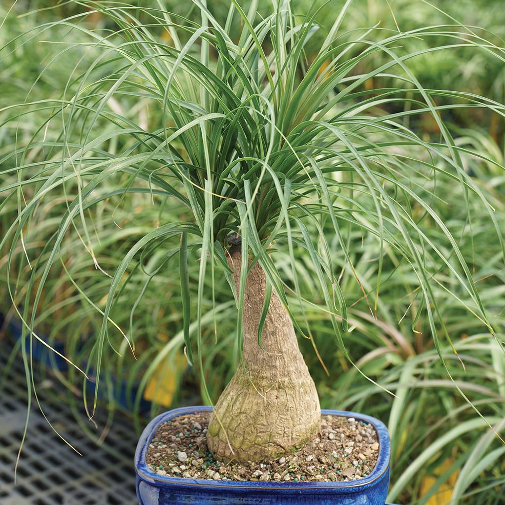 Medium Ponytail Palm Bonsai Tree Alternate View