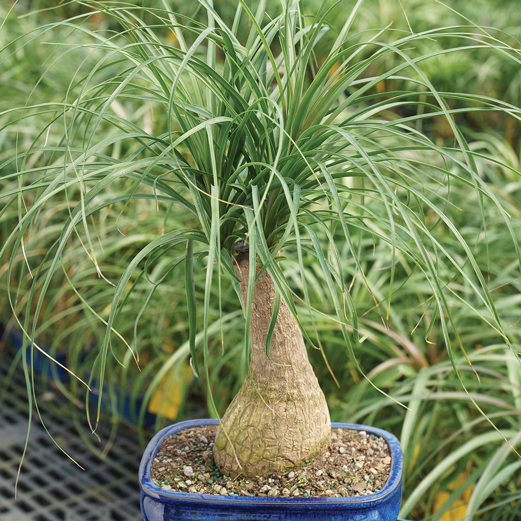 Medium Ponytail Palm Bonsai Tree Alternate View