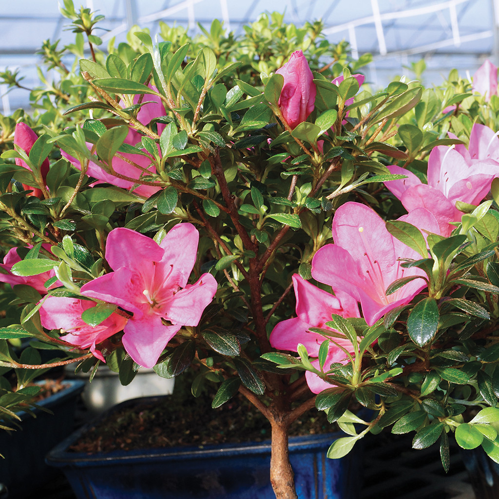 Medium Size Satsuki Azalea Bonsai Tree Foliage
