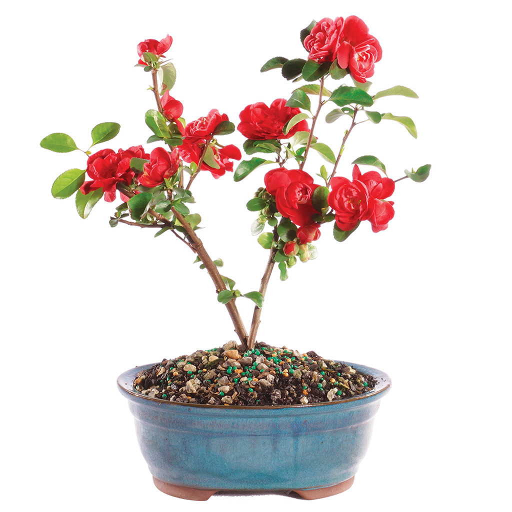 Flowering Quince - DT1115FQ