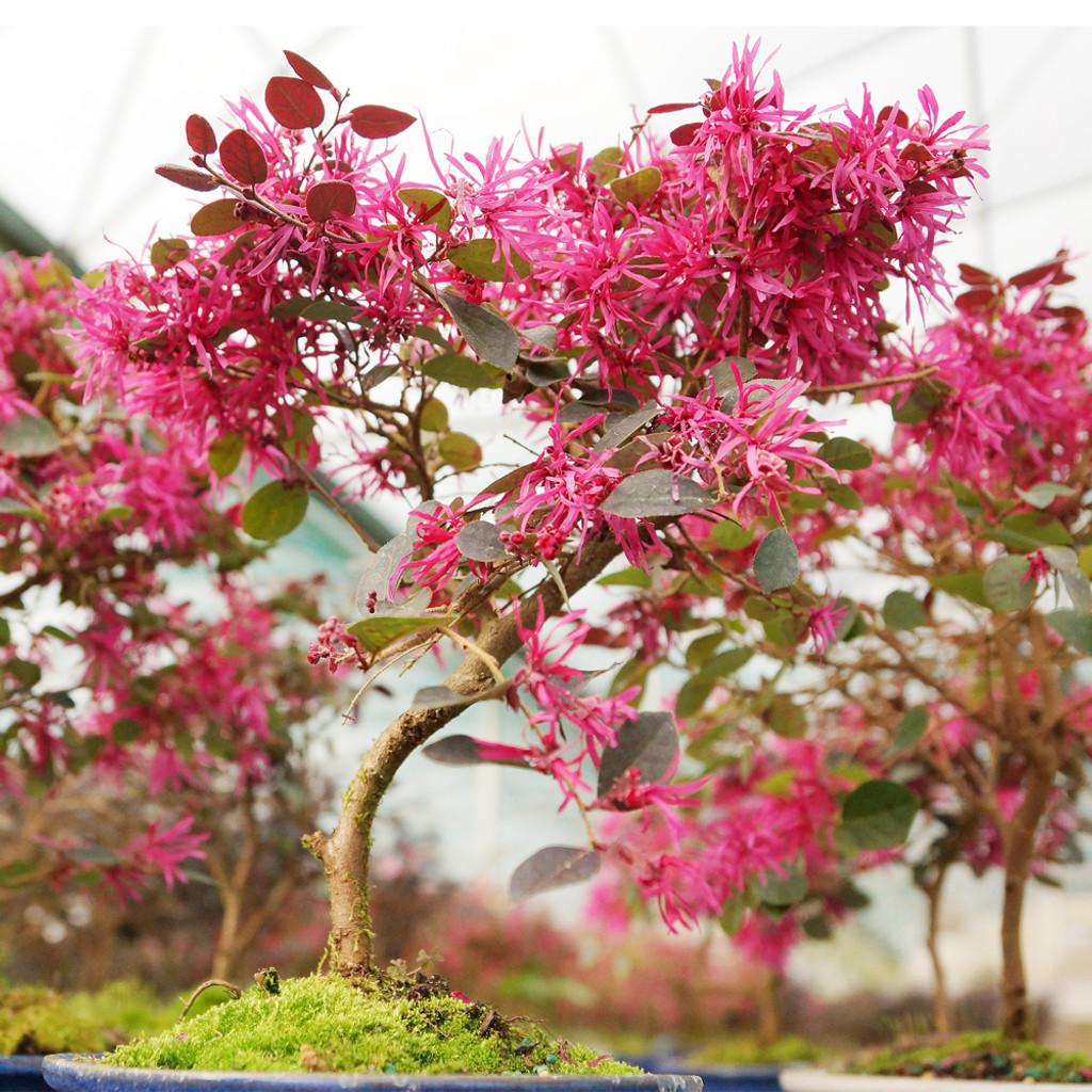 Fringe Flower - DT8045FF