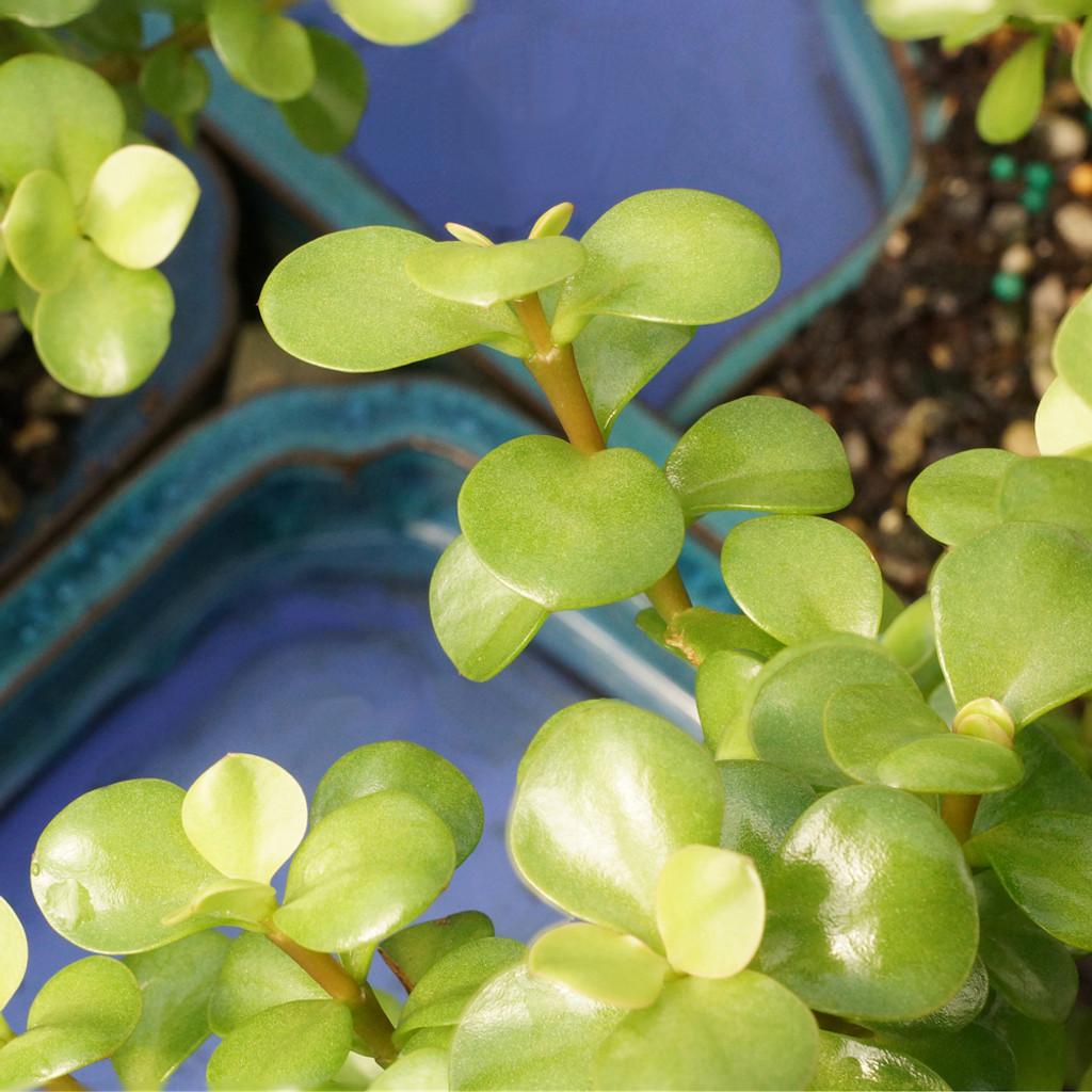 Dwarf Jade In Water Pot - DT9050WP