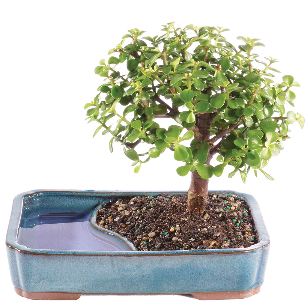 Dwarf Jade In Water Pot - DT9050WP