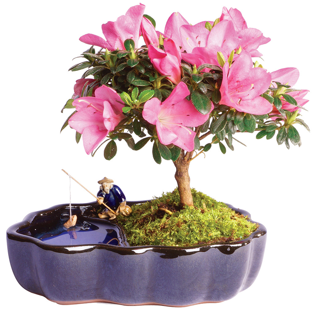 Azalea in Zen Reflections Pot - DT1217AZZ