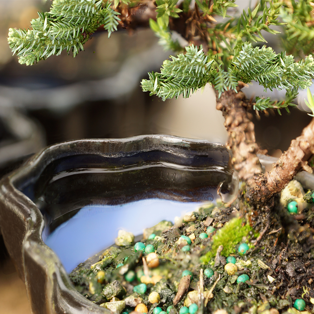 Green Mound Juniper in Zen Reflections Pot - DT2101GMJZ