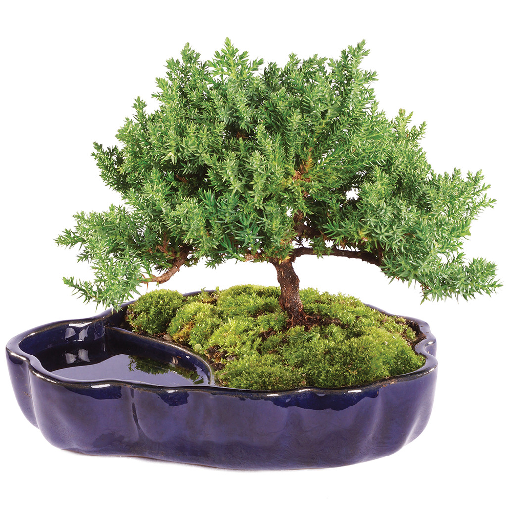 Green Mound Juniper Nana Outdoor Bonsai Zen Reflections Brussel S Bonsai