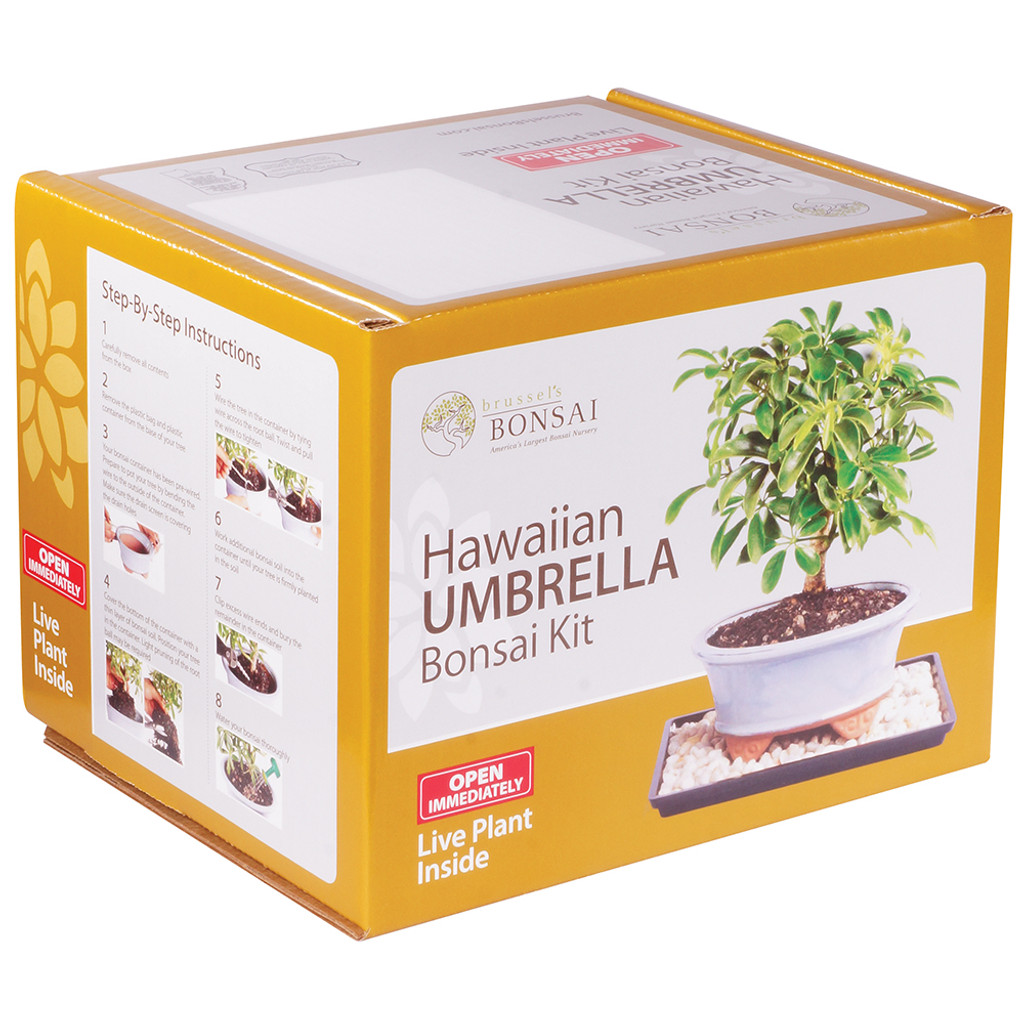 Hawaiian Umbrella Bonsai Kit - DTHUKIT