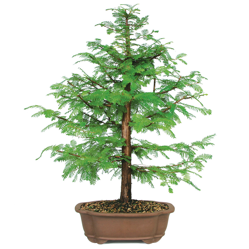 Dawn Redwood - DT8006DR