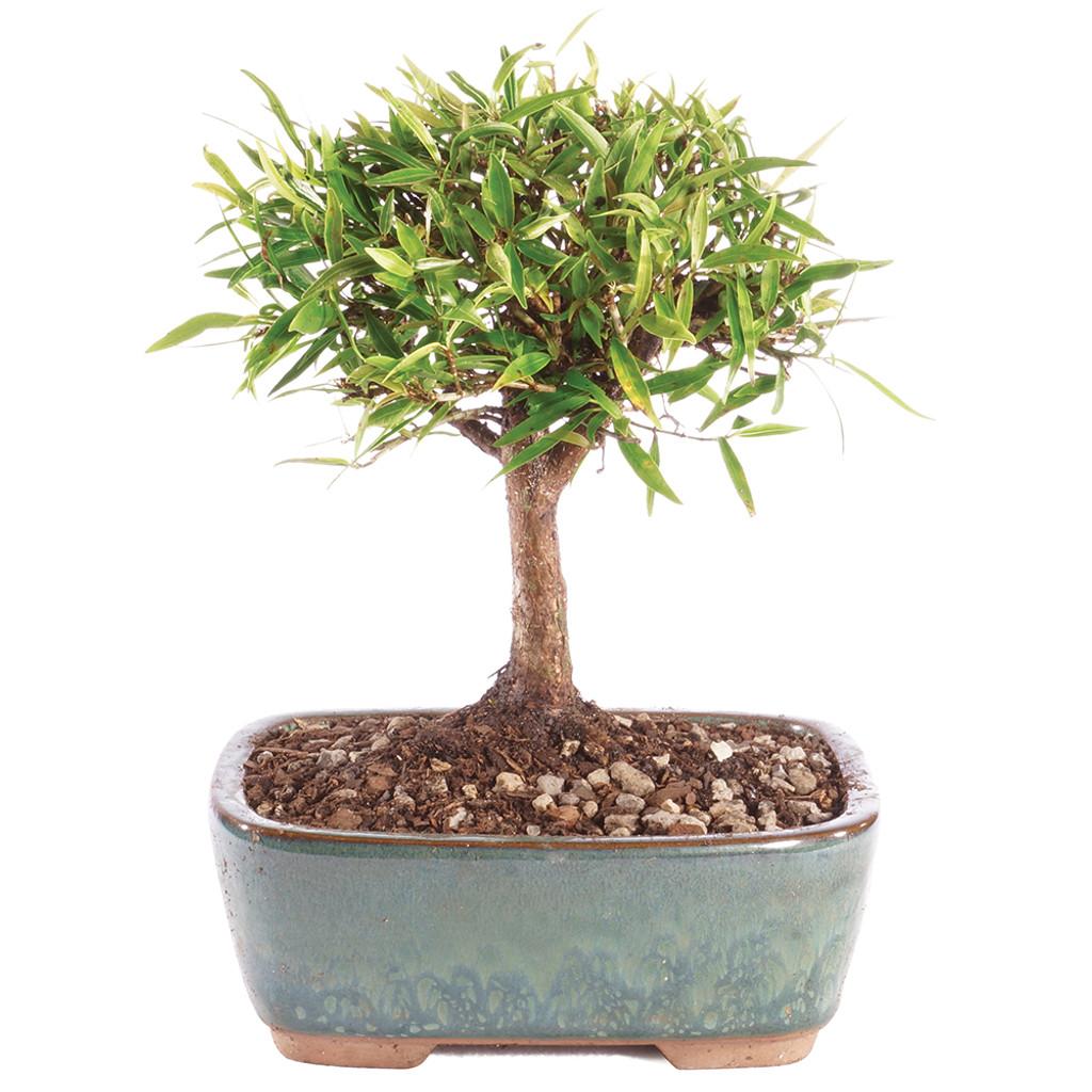 Narrow Leaf Ficus -  DT0818NLF