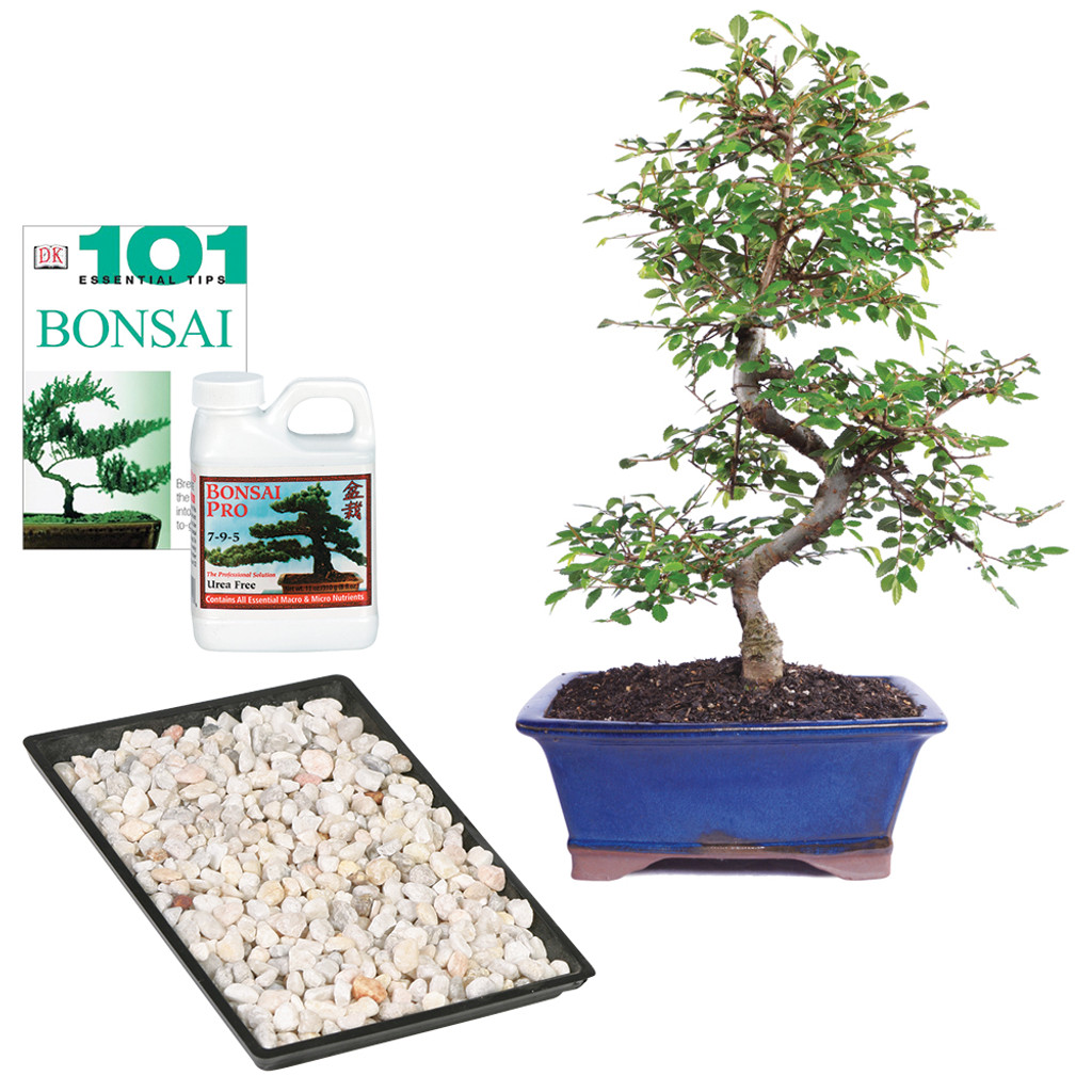 Chinese Elm Complete Gift - CT9006CECG