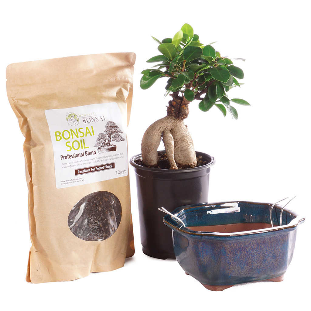 Gensing Grafted Ficus Indoor Bonsai Diy Bundle