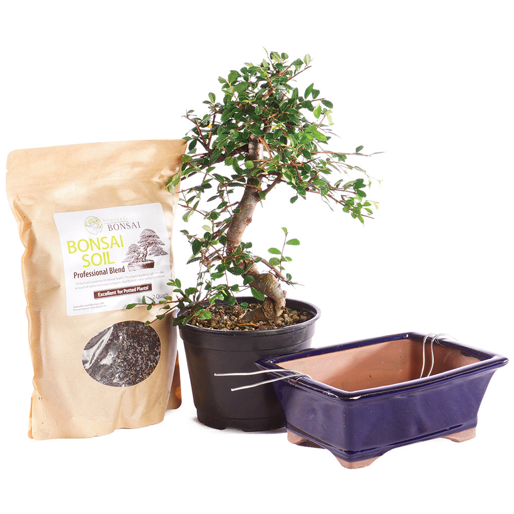 Chinese Elm - Pot It Yourself - CTCE6PIY