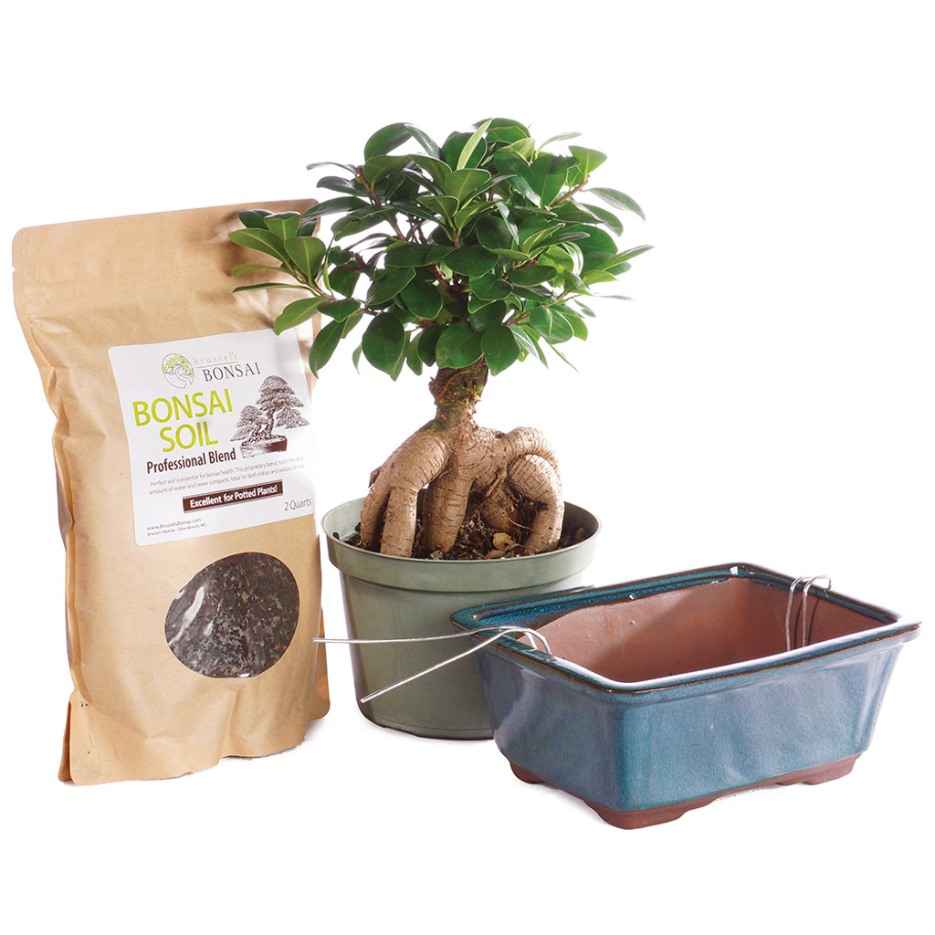 Gensing Grafted Ficus - Pot It Yourself - CTGMF6PIY