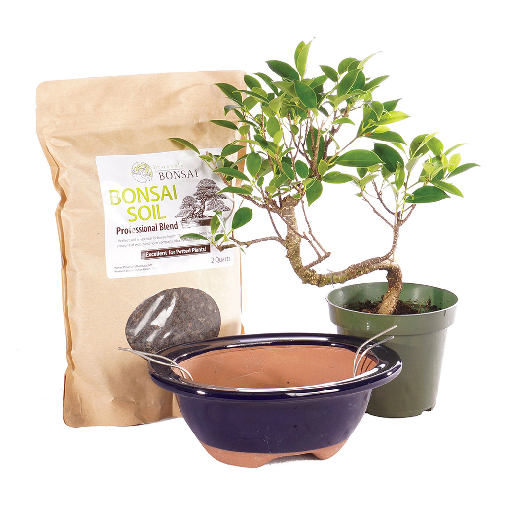 Golden Gate Ficus -CTGGF4PIY