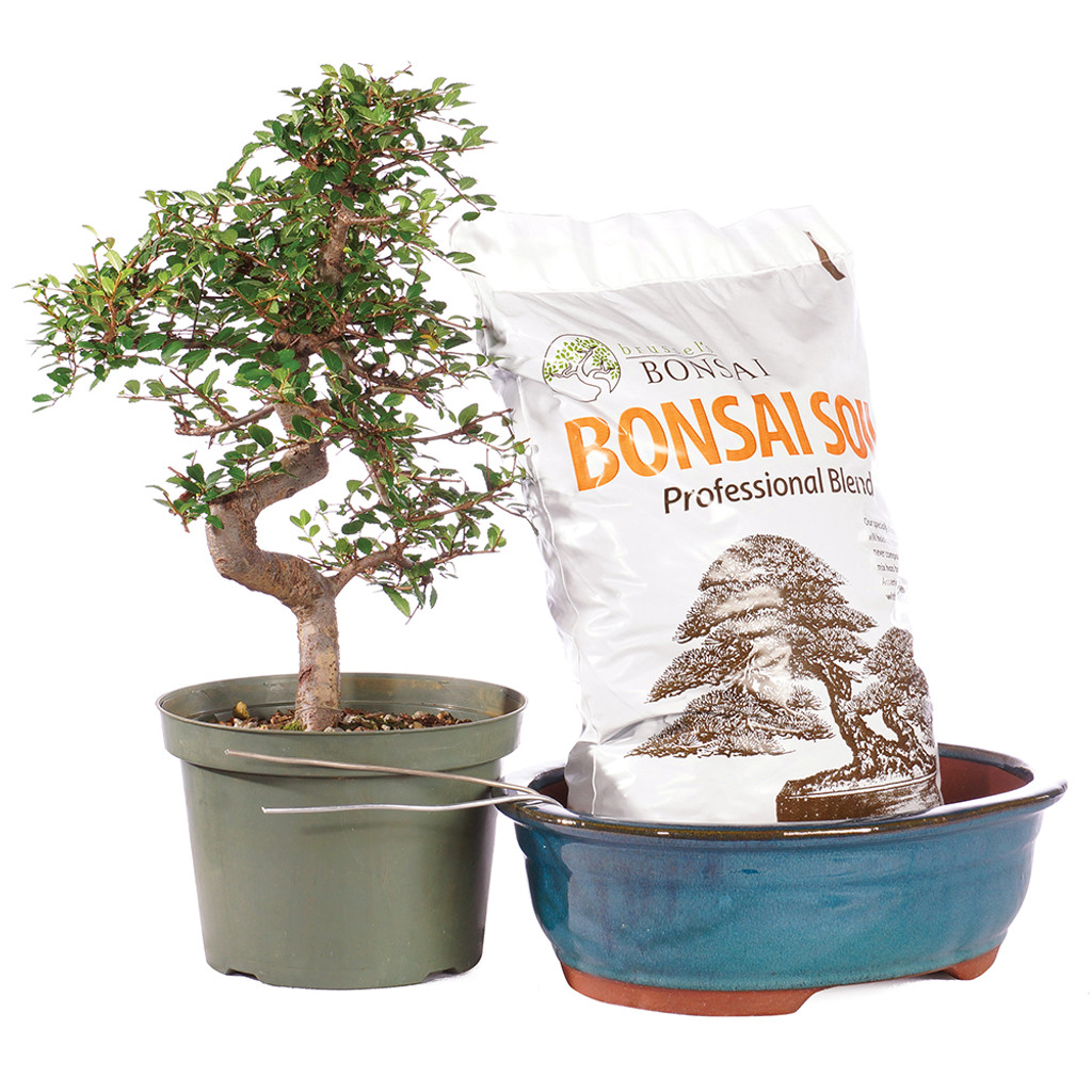 Chinese Elm - Pot It Yourself - CTCE12PIY