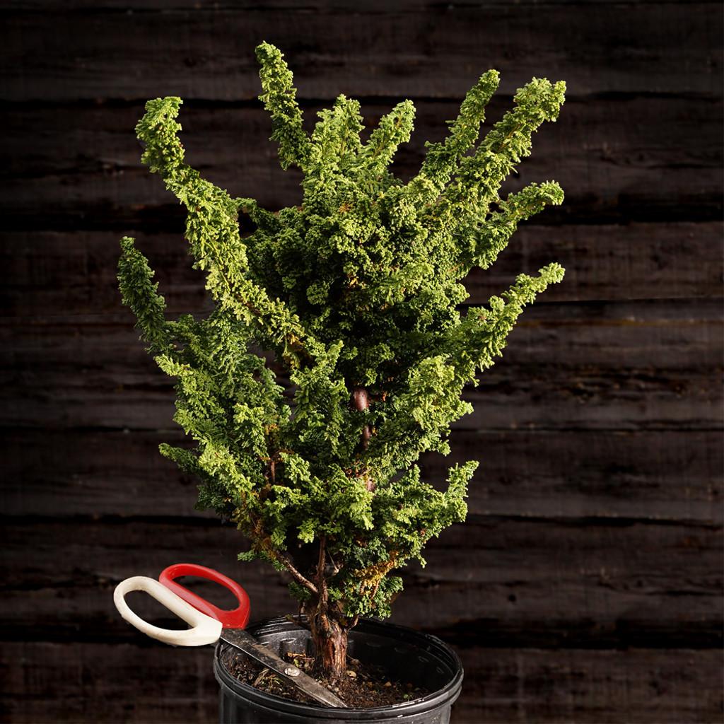 Hinoki Cypress 'Sekka'