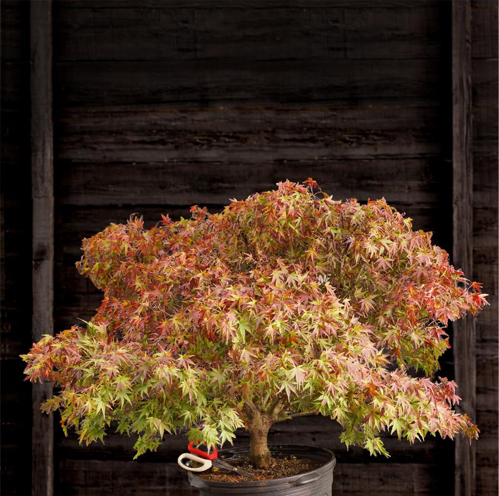 Japanese Maple 'Sharps Pygmy'