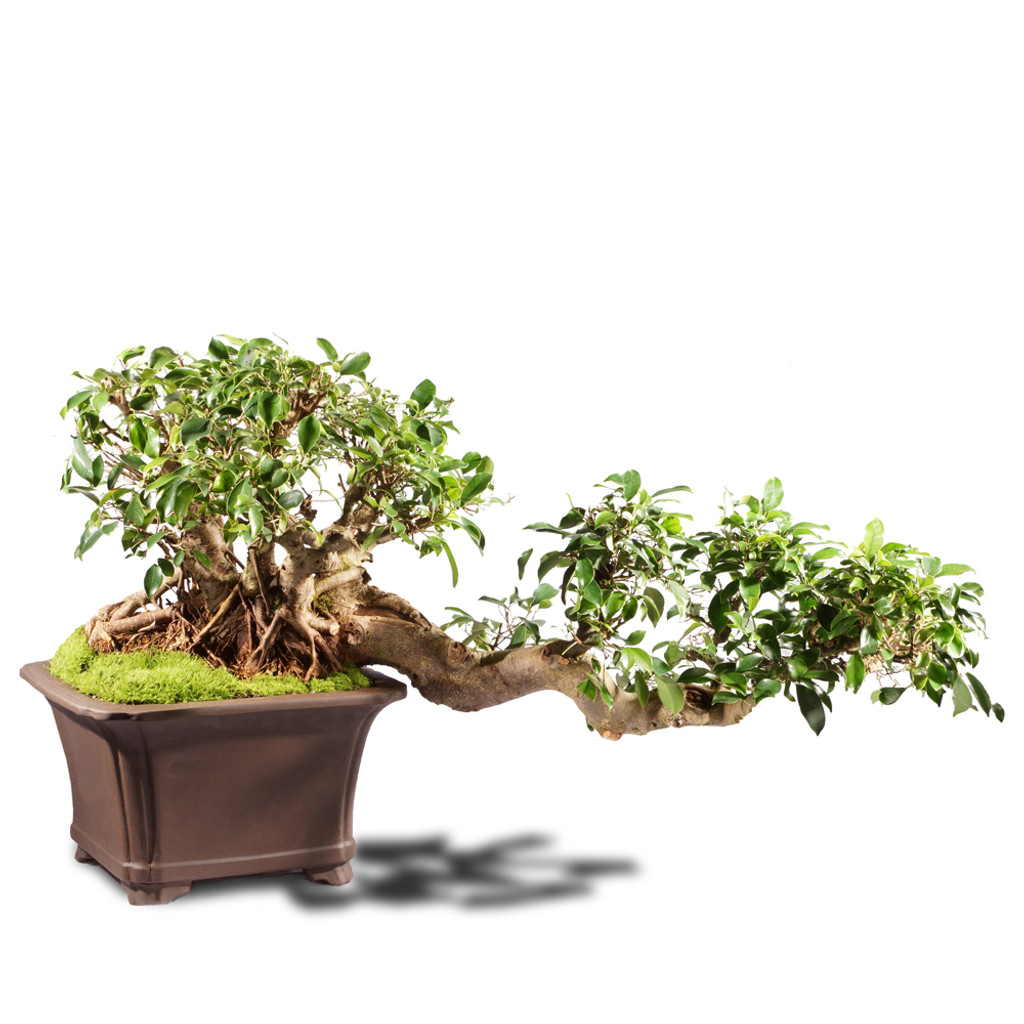 Grafted Ficus ST4215FR-L