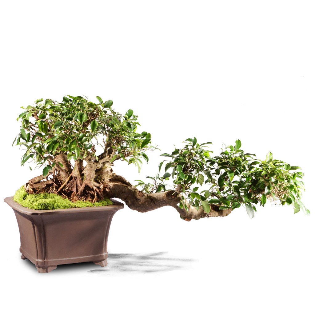 Grafted Ficus ST4215FR-S