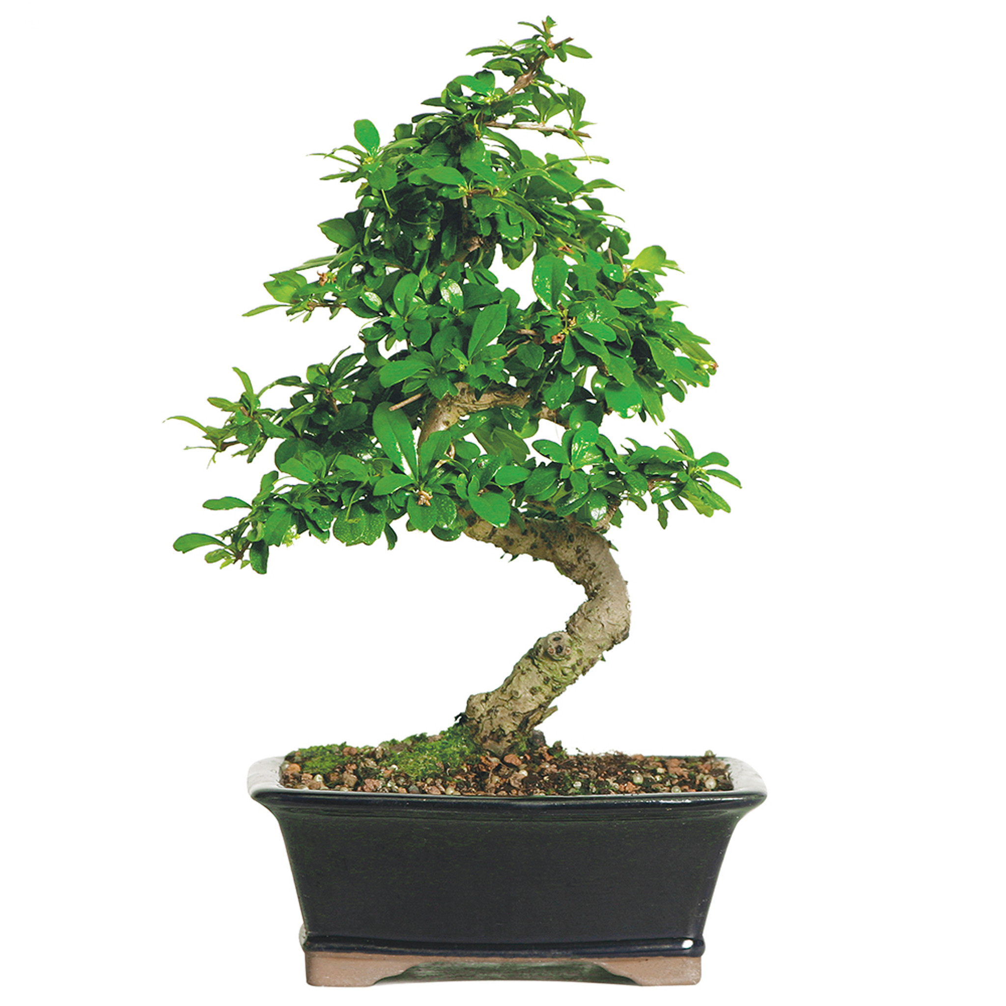 Small Brussels Bonsai Live Chinese Elm Outdoor Bonsai Tree 5 Years Old 6 8 Tall In Plastic Grower Pot Pinnacleoilandgas Com