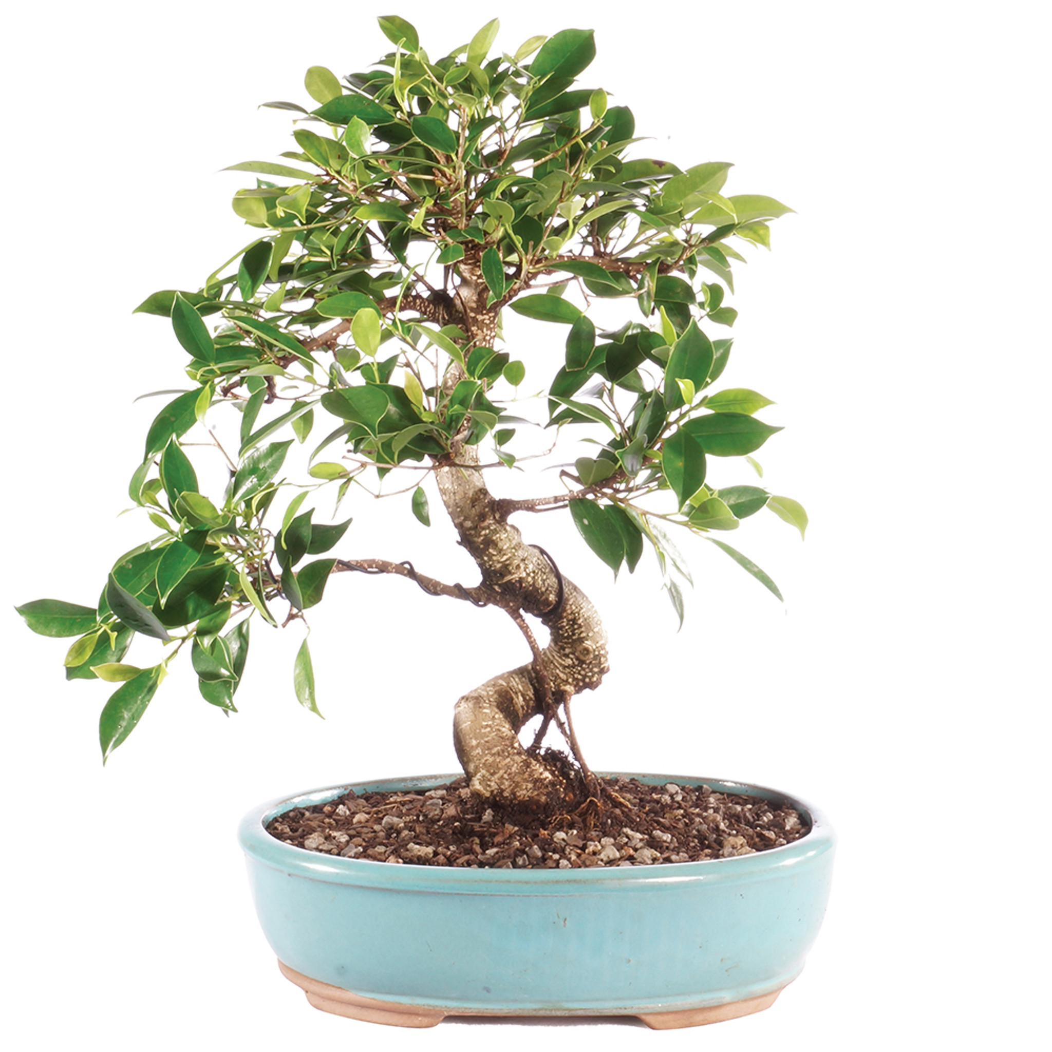 Golden Gate Ficus Microcarpa Indoor Bonsai 14 18 Brussel S Bonsai