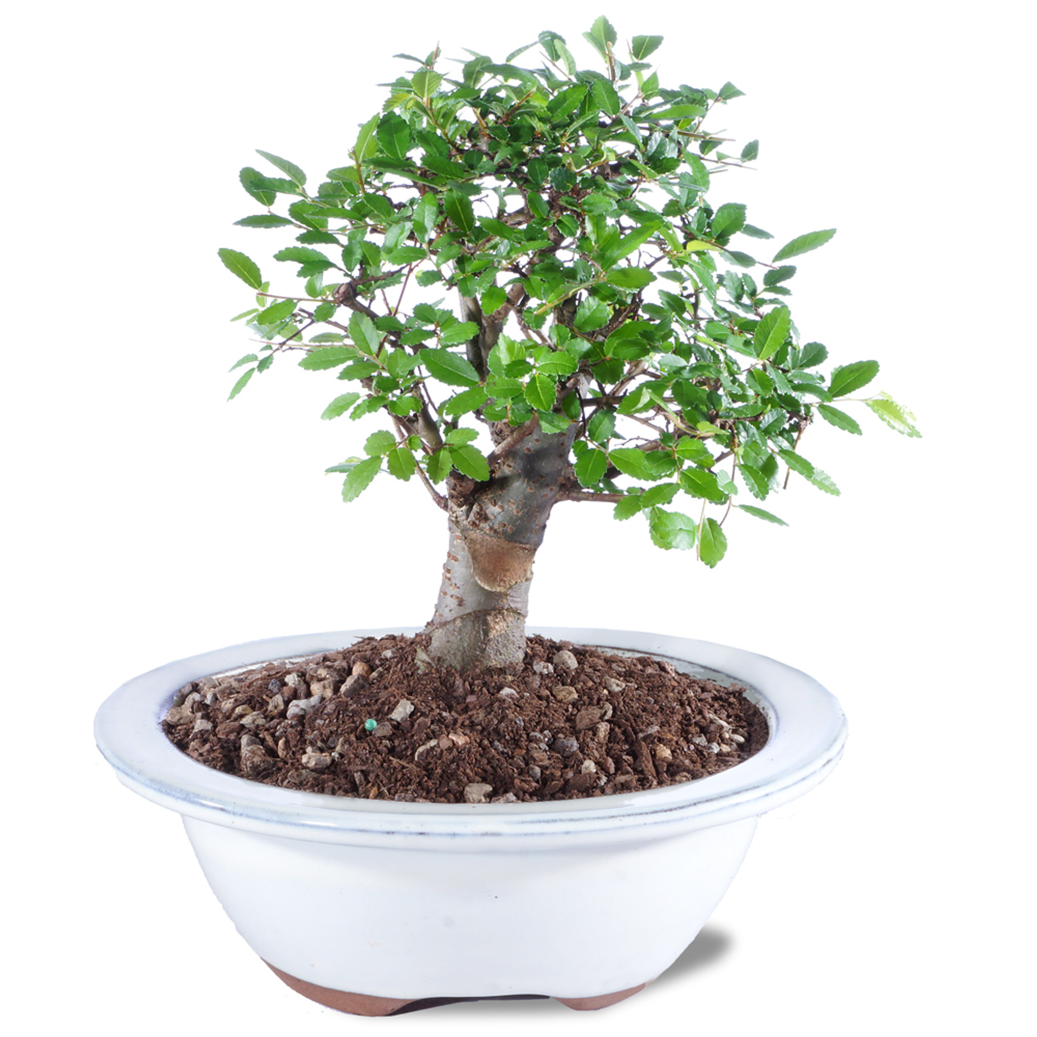 Chinese Elm Ulmus Parvifolia Outdoor Bonsai 6 8 Brussel S Bonsai