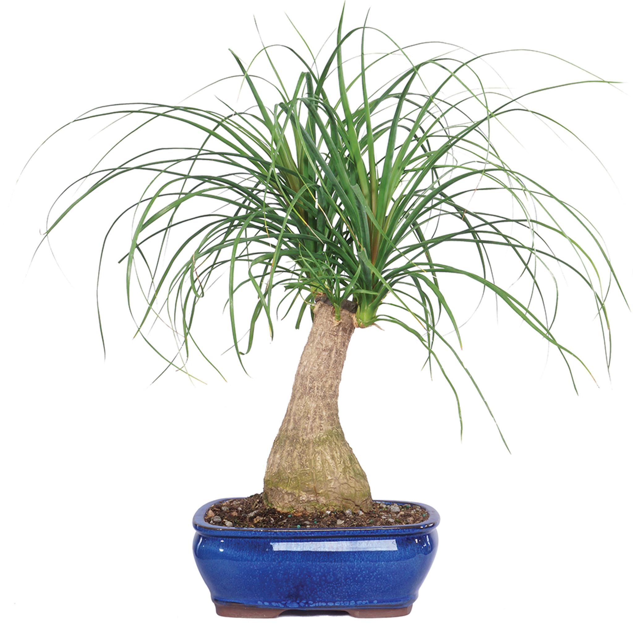Ponytail Palm Beaucamea Indoor Bonsai 12 20 Brussel S Bonsai