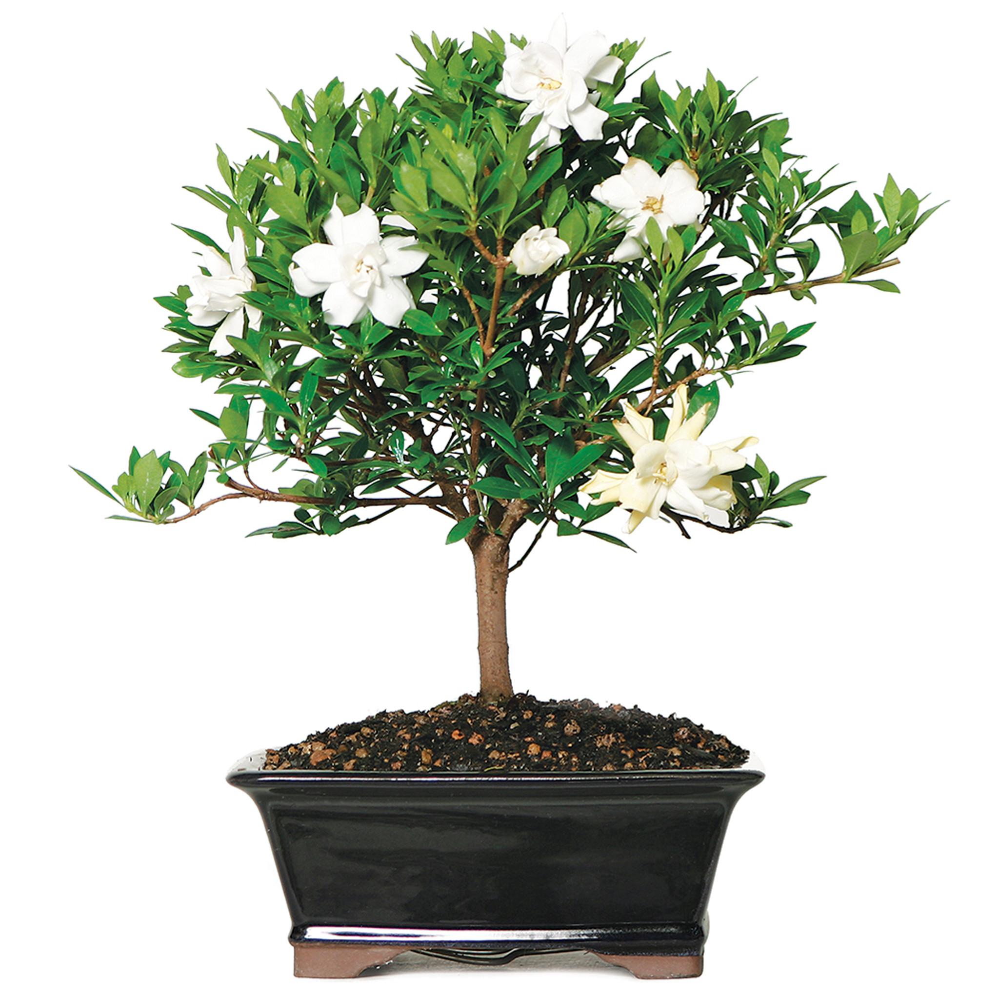 Gardenia Jasminoidy Radicans Outdoor Bonsai 8 12 Brussel S Bonsai